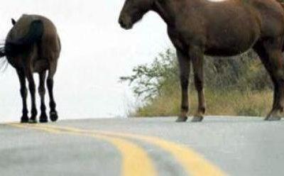 Al menos 3 Accidentes con Caballos sueltos en Ruta D 51 hacia Andacollo